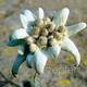 edelweiss_4.jpg